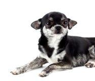 Pies (chihuahua), odizolowywający Zdjęcia Royalty Free