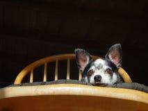 pies chihuahua portret zdjęcie stock
