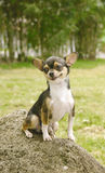 pies chihuahua się uśmiecha Fotografia Royalty Free