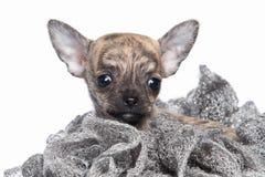 Pies Chihuahua szczeniak na białym tle Obraz Royalty Free