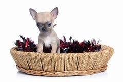 Pies Chihuahua szczeniak na białym tle Fotografia Stock