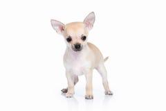 Pies Chihuahua szczeniak na białym tle Zdjęcie Royalty Free