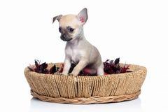 Pies Chihuahua szczeniak na białym tle Zdjęcia Royalty Free