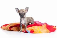 Pies Chihuahua szczeniak na białym tle Fotografia Royalty Free