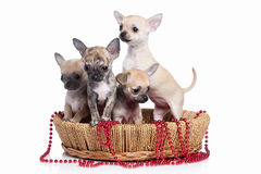 Pies Chihuahua szczeniak na białym tle Obraz Stock