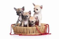 Pies Chihuahua szczeniak na białym tle Zdjęcia Stock