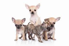 Pies Chihuahua szczeniak na białym tle Obrazy Stock