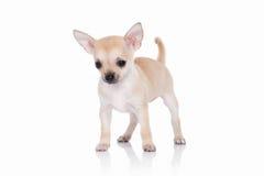 Pies Chihuahua szczeniak na białym tle Zdjęcie Stock
