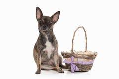 Pies Chihuahua szczeniak na bielu Fotografia Royalty Free