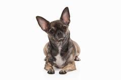 Pies Chihuahua szczeniak na bielu Zdjęcia Stock