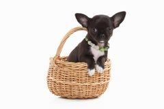 Pies Chihuahua szczeniak na bielu Obraz Stock