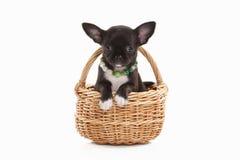 Pies Chihuahua szczeniak na bielu Obrazy Royalty Free