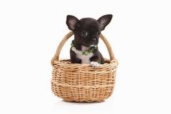 Pies Chihuahua szczeniak odizolowywający na bielu Zdjęcie Stock