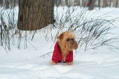 Pies chodzi w zimie Zdjęcie Royalty Free