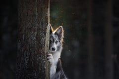 Pies chuje za drzewem Border Collie w drewnach w zimie Spacer z twój zwierzęciem domowym zdjęcia stock