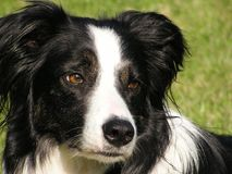pies collie, Obrazy Stock