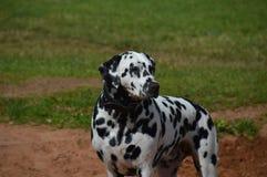 pies dalmatian Zdjęcie Stock