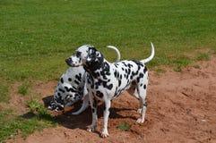 pies dalmatian Zdjęcie Royalty Free