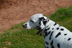 pies dalmatian Zdjęcia Royalty Free