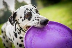 pies dalmatian zdjęcia stock