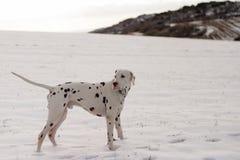 Pies Dalmatyńska rasa w śniegu obrazy stock