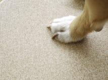 Pies de Brown y clavos negros de pequeños perros Imagen de archivo libre de regalías