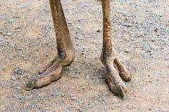 Pies de la avestruz fotografía de archivo