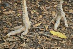Pies de la avestruz imágenes de archivo libres de regalías