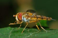 Pies de limpieza del insecto de Hoverfly Fotografía de archivo