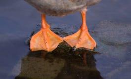 Pies de los patos fotografía de archivo
