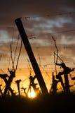Pies de Wineyard en la puesta del sol Imágenes de archivo libres de regalías