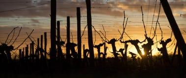 Pies de Wineyard en la puesta del sol Imagen de archivo
