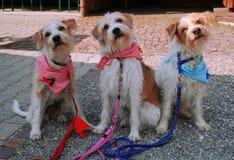 Pies, dziewczyny grupa w Niemcy Obrazy Stock