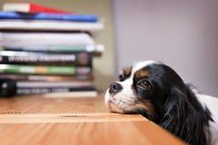 Pies głowa na stole Zdjęcia Royalty Free