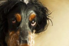 Pies głowa z ekspresyjnymi oczami Obrazy Stock