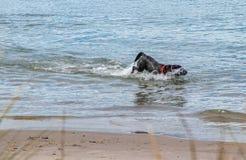 Pies gulgocze w morzu zdjęcie stock