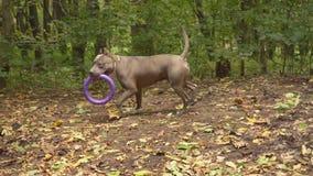 Pies hoduje stafford zbiory