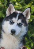 Pies, husky, traken pies, zwierzę domowe, przyjaciel rodzina, pies, laik fotografia royalty free