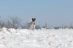 Pies i śnieg Obrazy Royalty Free