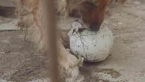 Pies je ludzką czaszkę zbiory