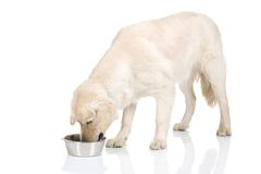 pies jedzący Fotografia Royalty Free