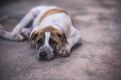 Pies jest łgarskim puszkiem na podłoga Obraz Stock