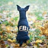 Pies jest agent fbi Śmiesznego szczeniaka zabawkarski terier w kostiumu fbi Zdjęcie Stock