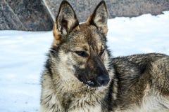 Pies jest bardzo jednakowy wilk siedzi i gapi się w odległość fotografia royalty free