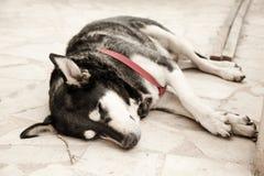 Pies jest śpi Zdjęcia Stock