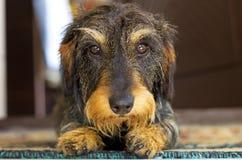 pies jest portret Zdjęcie Stock