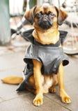 pies jest portret Zdjęcie Royalty Free