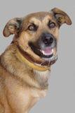 pies jest portret Zdjęcia Royalty Free