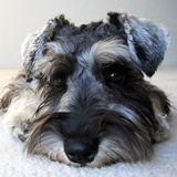 pies jest portret Obraz Royalty Free
