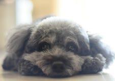 pies jest portret Zdjęcia Stock